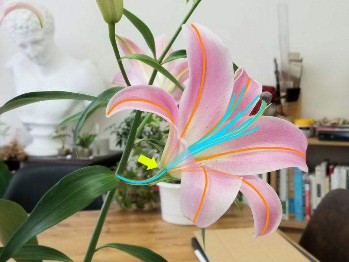 lily_web